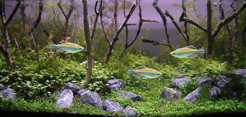 Congo Tetra Screensaver
