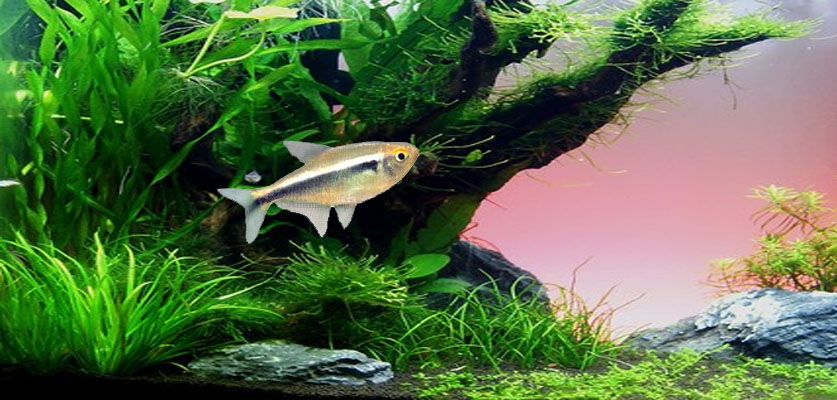 Gold Neon Tetra Screensaver