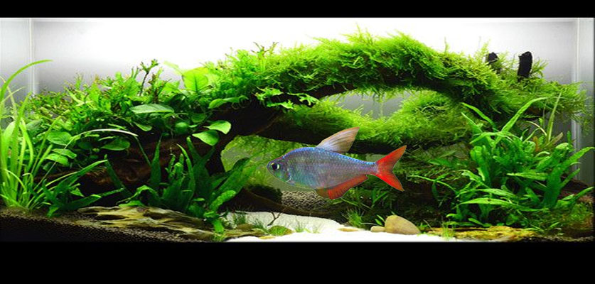 Red-Blue Columbian Tetra Screensaver