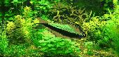 Purple Emperor Tetra Screensaver Screenshot