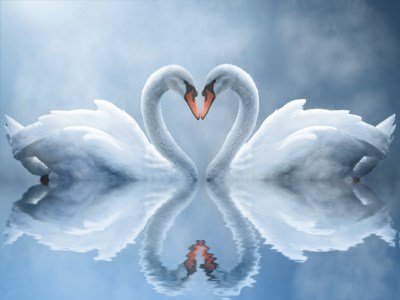 Swan Love Animated Wallpaper