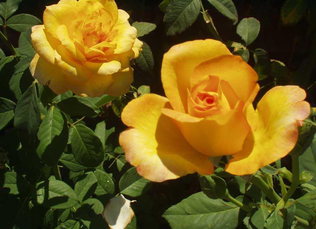 Rose Flower Screensaver