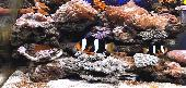 Allard's Clownfish Wallpaper Screenshot