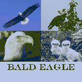 Bald Eagle Screensaver Screenshot