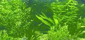 Platinum Ogon Koi Wallpaper Screenshot