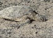 BAB Green Sea Turtle Puzzle Screenshot
