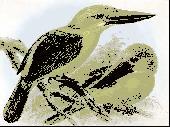 Kingfishers and Kookaburras Screensaver Screenshot