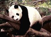 Panda Bear Screensaver Screenshot